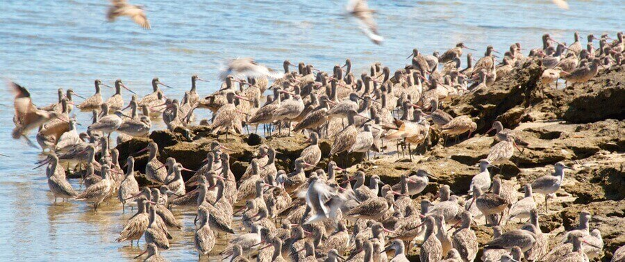 Flock of Godwits at Campo Cortez
