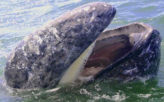 gray whales up close and personal
