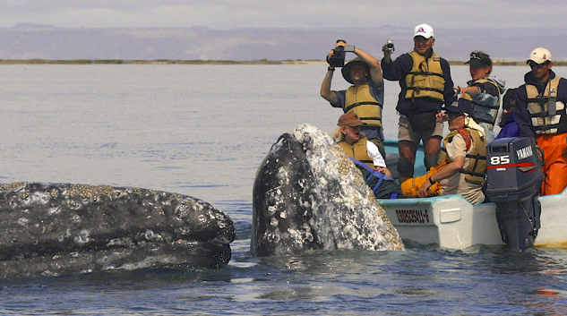 Baja Ecotours Friendly Gray Whales at San Ignacio Lagoon